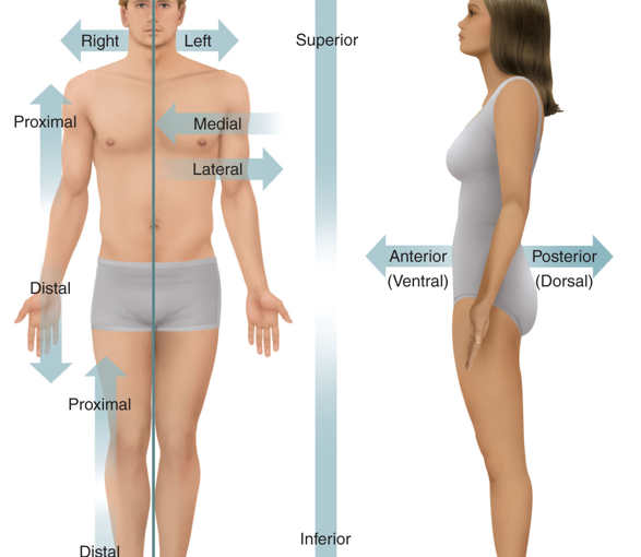 9335776 furthermore Man Missing Most Of His Brain Challenges Everything We Thought We Knew About Consciousness further Shoulder Anatomy likewise Development Of Vessels Special Embryology furthermore 8939488. on right ventral lateral superior